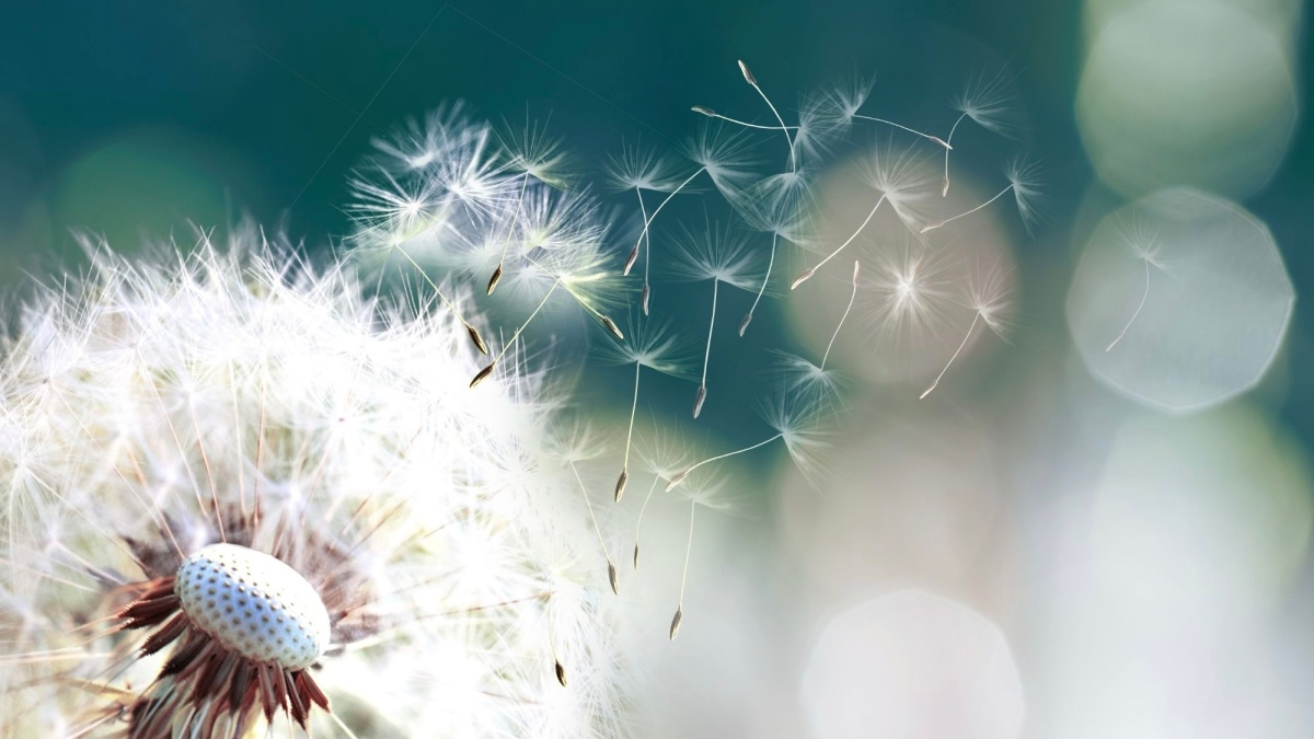 Picture of dandelion seeds blowing in the wind